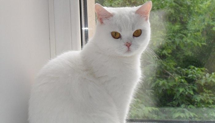 Короткошерстный белый британский кот