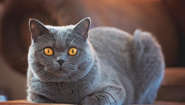 Беременность британской кошки и правильный уход за ней