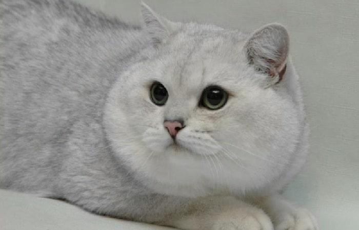 Кошки британской породы тебе thumbnail