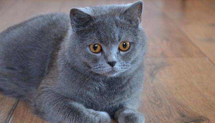 Сколько длится беременность у кошек британской породы этапы и сроки