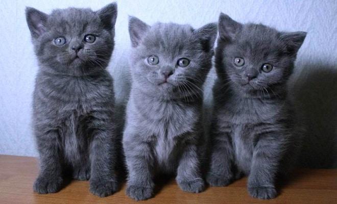 Характер британских котов и их поведение