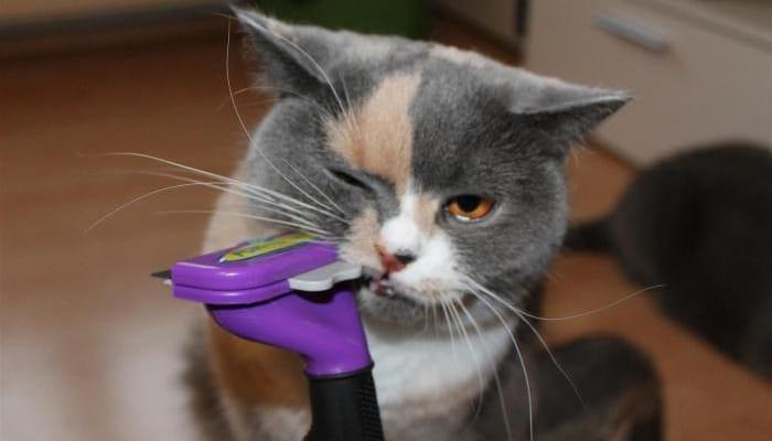 Расческа для британских кошек и уход за шерстью