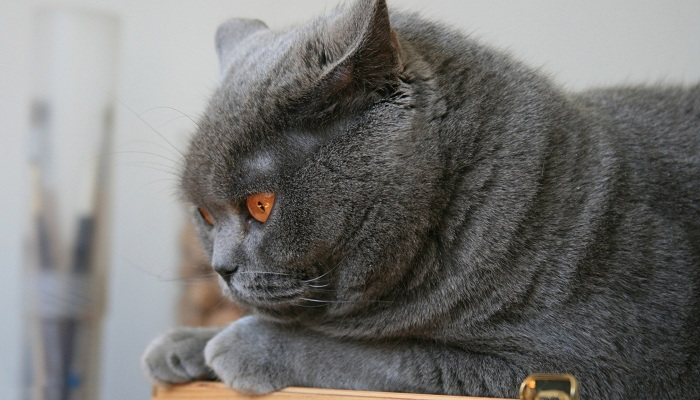 Различные болезни британских кошек и их симптомы