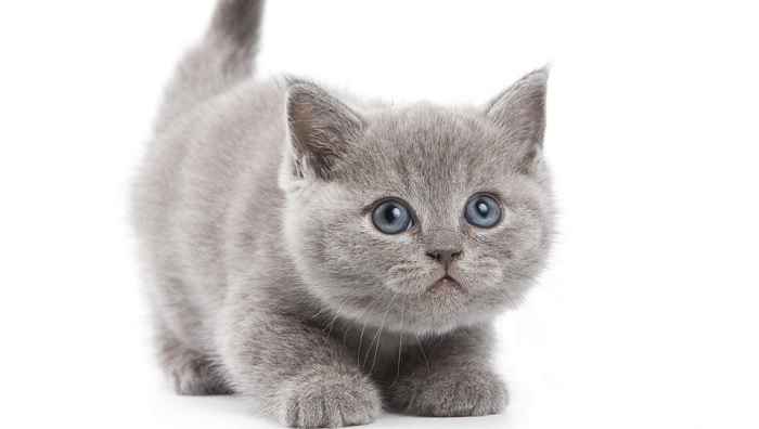 Как отличить британского котёнка от обычного
