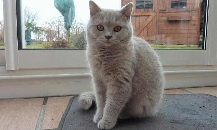 Британская лиловая кошка