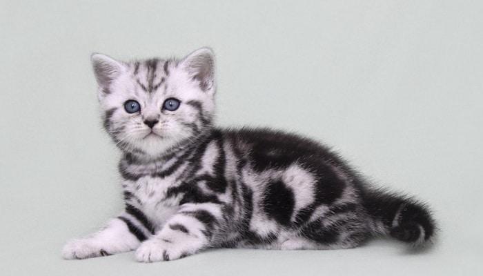 Британская мраморная кошка и особенности ее окраса