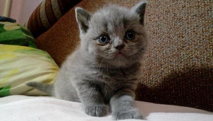 Прививки британским котятам и график вакцинации