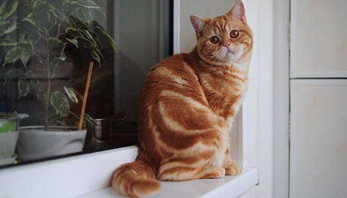 Рыжий британский кот и особенности его окраса