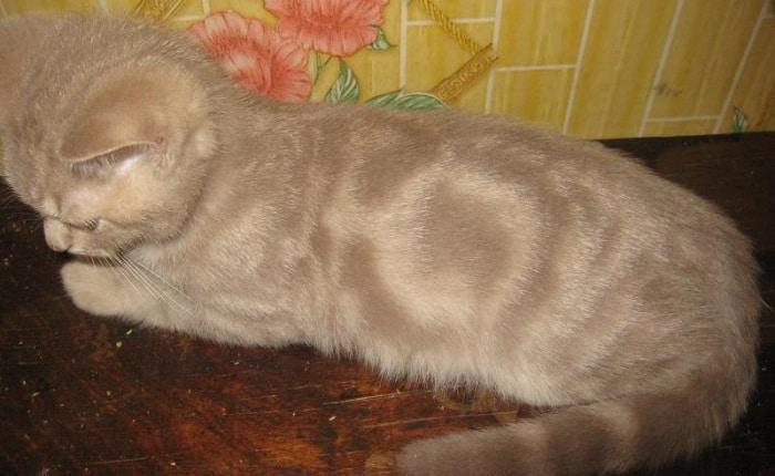 Британская кошка табби и ее окрасы