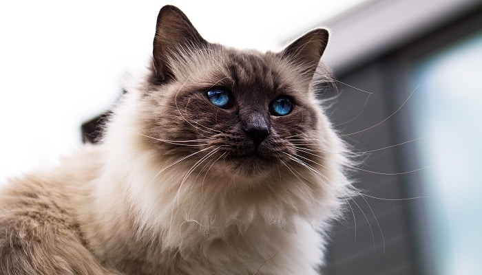 Сиамские пушистые кошки и уход за ними