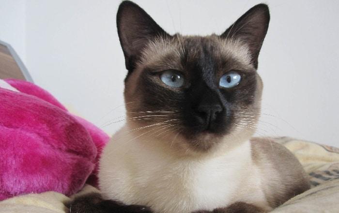 Отличия сиамской кошки от тайской