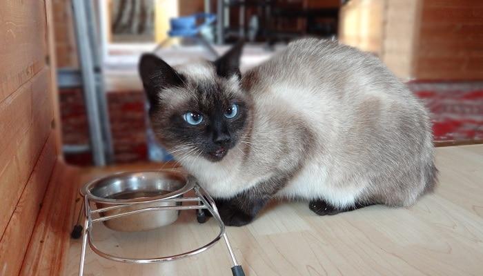 Чем кормить сиамского котенка, кота и кошку