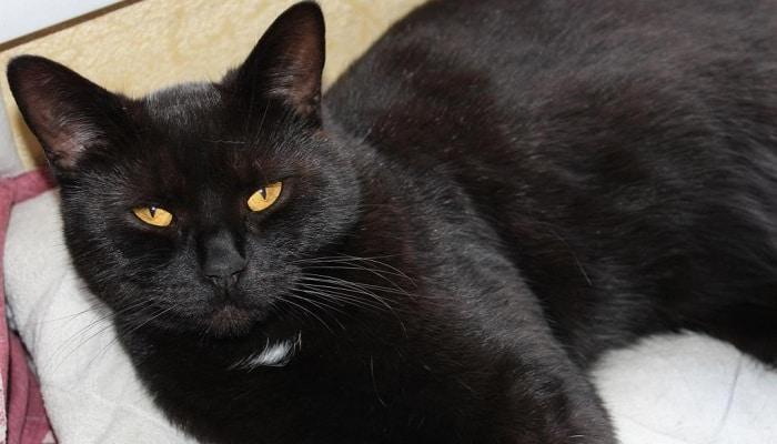 Как ухаживать за черной британской кошкой