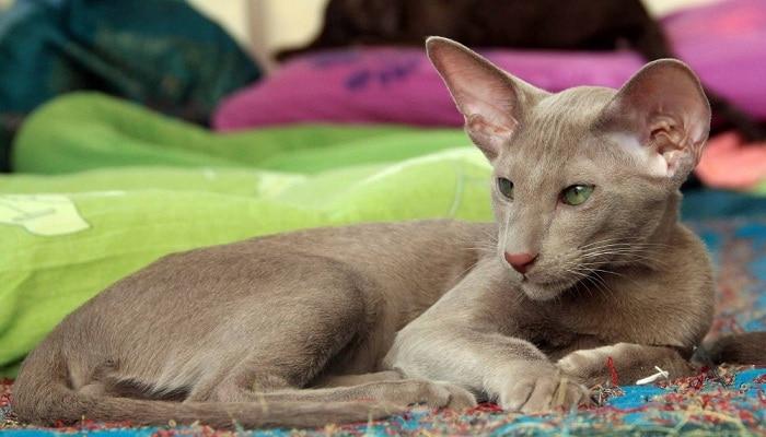 Кошки похожие на сиамских внешне