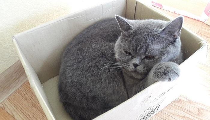 Сколько живут кошки британской породы