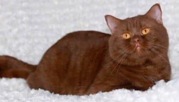 Окрас шоколадного британского кота и уход за ним