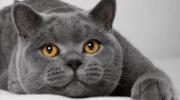 Британские котята: кормление, уход и воспитание