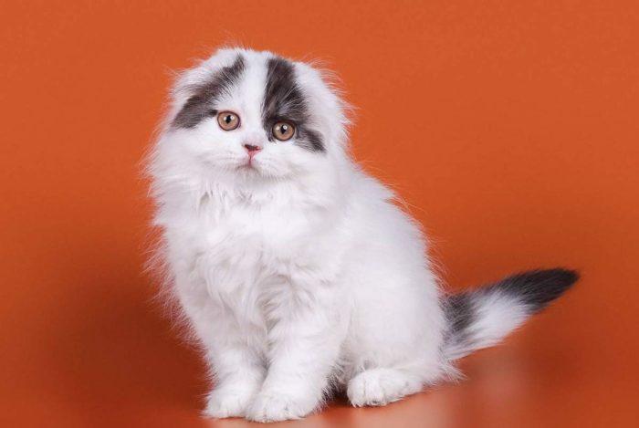 Шотландская вислоухая длинношерстная кошка (хайленд фолд) – описание породы