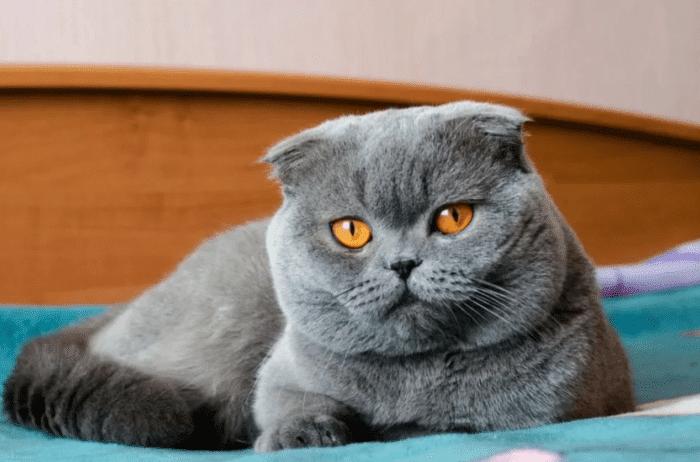 У шотландской вислоухой кошки слезятся глаза