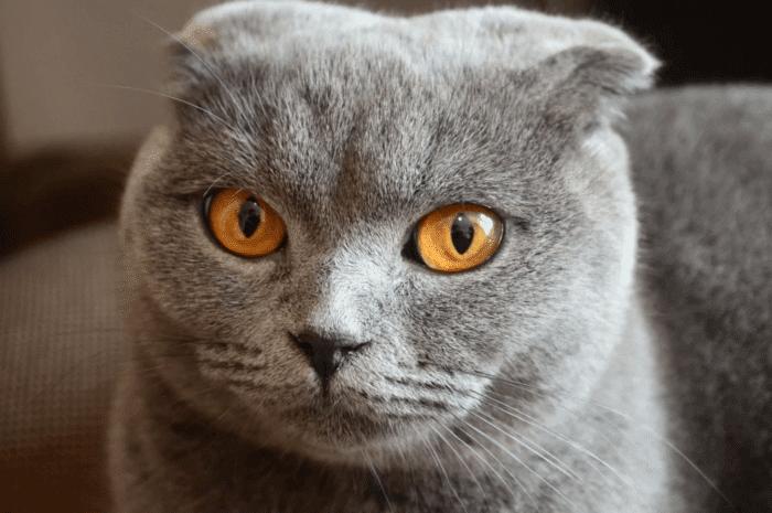 Кастрация (стерилизация) шотландских вислоухих котов (кошек)