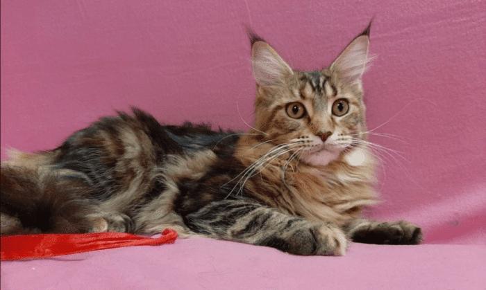 Смесь мейн-куна и бенгальского кота