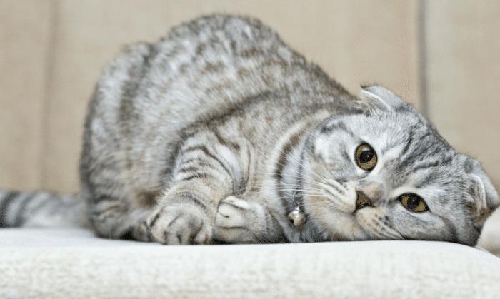 Шотландская вислоухая кошка