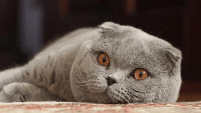 Шотландский вислоухий кот