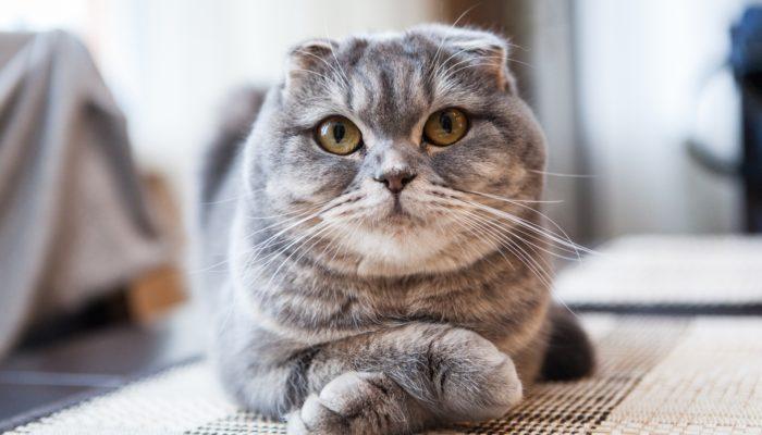 Как назвать шотландскую вислоухую кошку-девочку – ТОП красивых имен