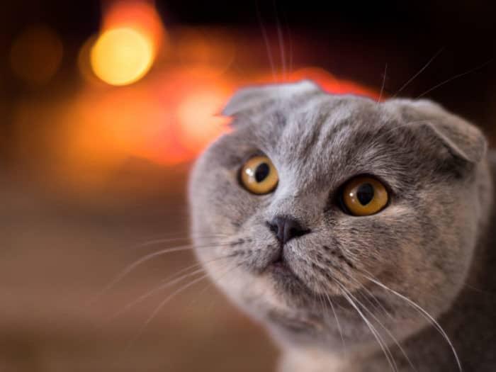 Почему у шотландской вислоухой кошки слезятся глаза