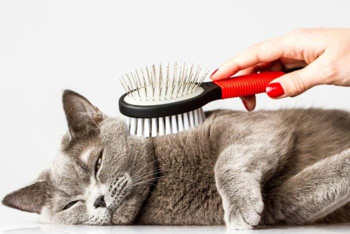 почему у шотландской кошки сильно лезет шерсть