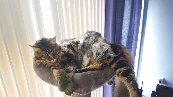 Как отличить мейн-куна от обычного котенка
