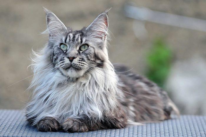 когда кастрировать кота мейн куна в каком возрасте