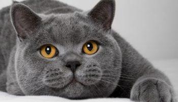 Во сколько месяцев кастрируют котов британцев