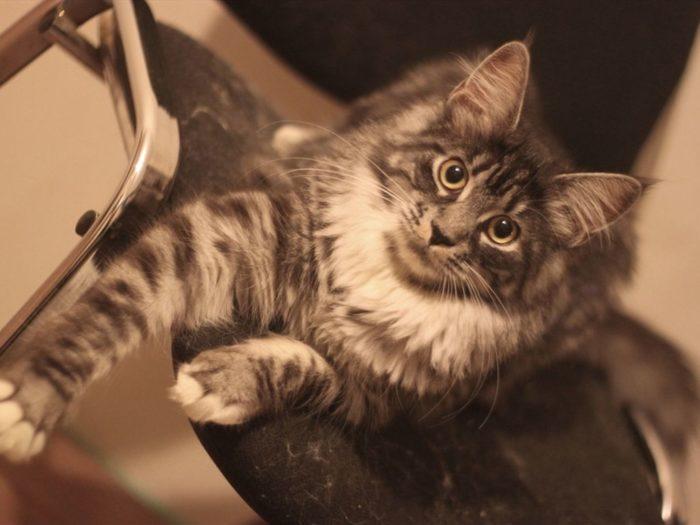 Смесь мейн-куна и сибирской кошки