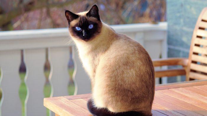 Почему сиамских котов считают злыми