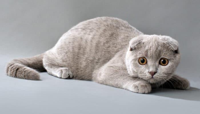 Остеохондродисплазия (ОХД) шотландских вислоухих кошек
