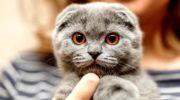 Описание породы шотландской вислоухой кошки