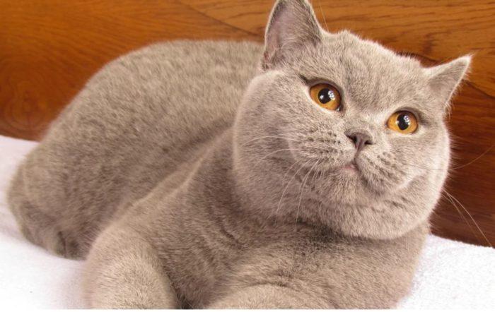 Таблица веса британской кошки по возрасту