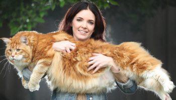 Самый крупный кот мейн-кун