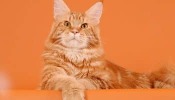 Котята и взрослые рыжие мейн-куны