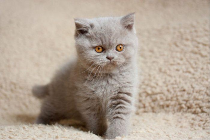 Подбираем имя для кота британской породы