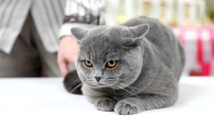 Британская порода короткошерстной кошки