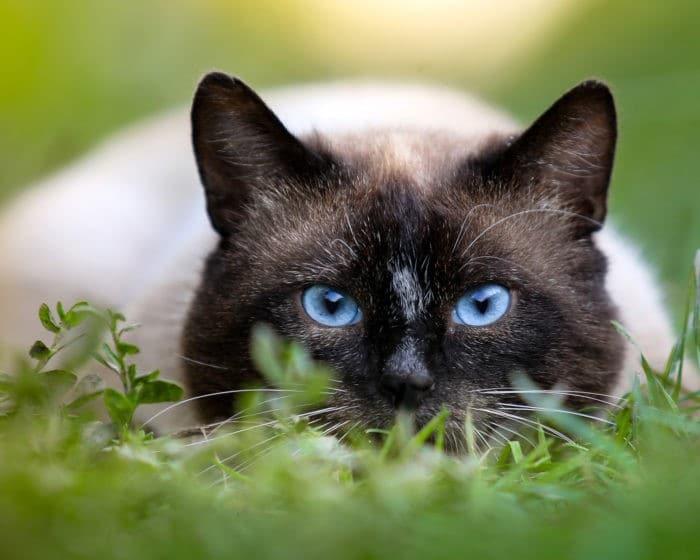 имена для сиамских котов