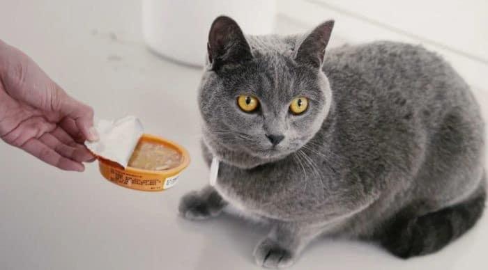 Кормление кошек-британок