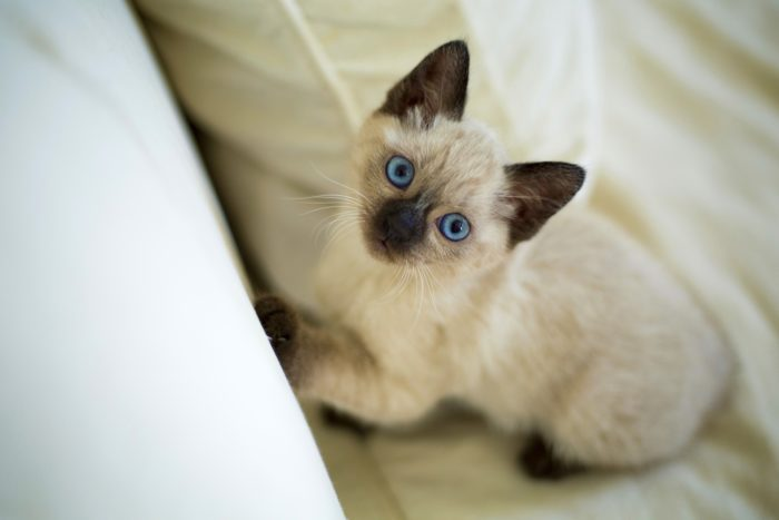 Сиамская котенок