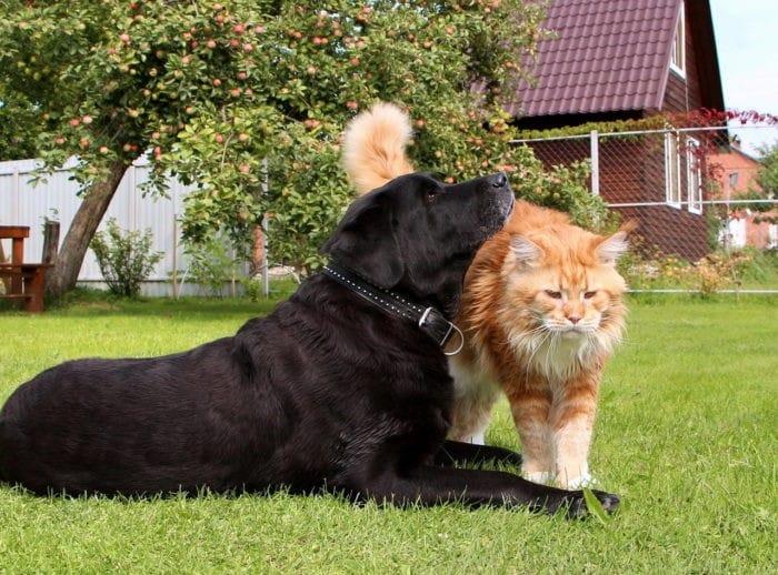 Мейн Кун и домашние животные