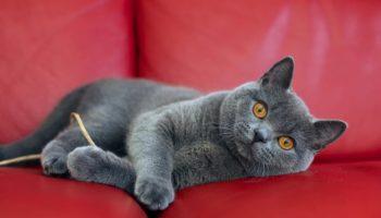 Подбираем имя для кошки девочки британской породы