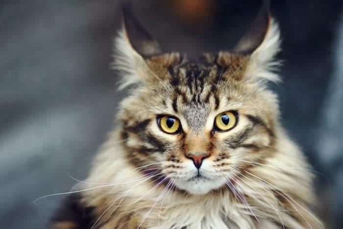Описание породы кошек мейн-кун