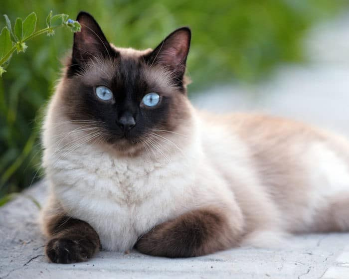 как назвать сиамского котенка мальчика