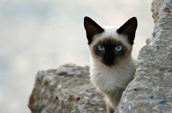 клички для сиамских котов